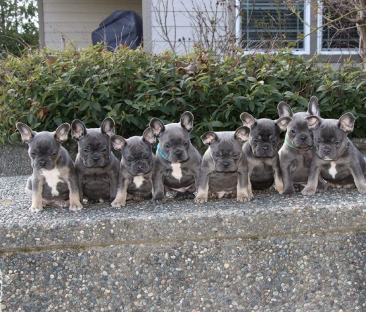 luxuriousfrenchbulldogs